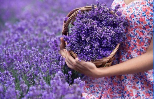 Biểu tượng oải hương xứ Provence - vùng đất kỳ diệu của những loại hoa cỏ tốt cho sắc đẹp con người.
