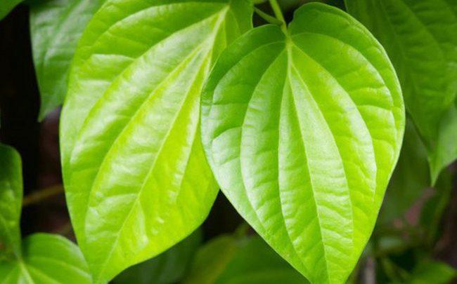 Chiết xuất lá trầu không giúp ngăn tình trạng viêm nhiễm vùng kín