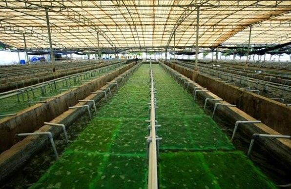 Rong nho biển thích hợp trồng ở vùng nước biển sạch, ít tác động từ môi trường